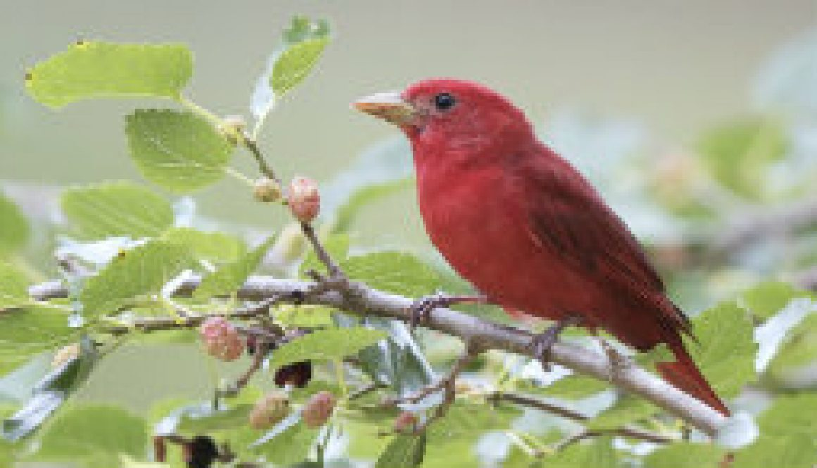 Summer Tanagers 2010 featured