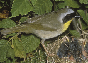 The Common Yellowthroat Warbler