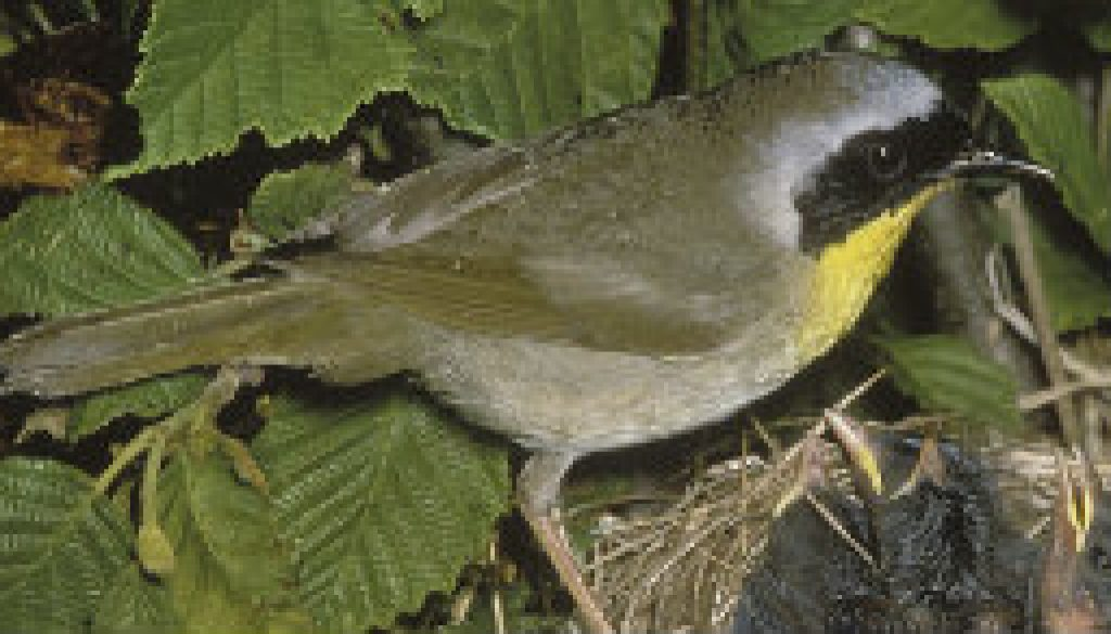 The Common Yellowthroat Warbler featured