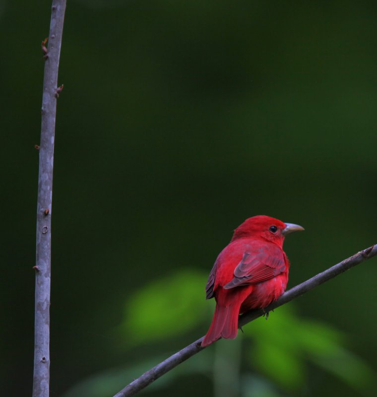 The amazing Tanagers