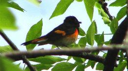 The beautiful American Redstart featured