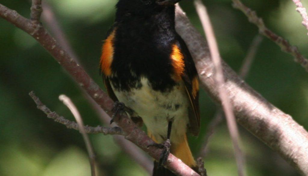 The beautiful American Redstart