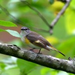 The beautiful American Redstart