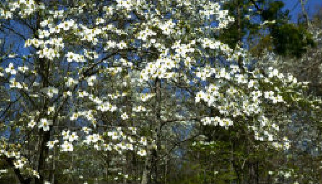 The spectacular Dogwoods of April featured