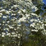 The spectacular Dogwoods of April