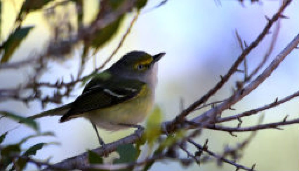 The vocal White-eyed Vireo featured