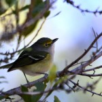The vocal White-eyed Vireo1