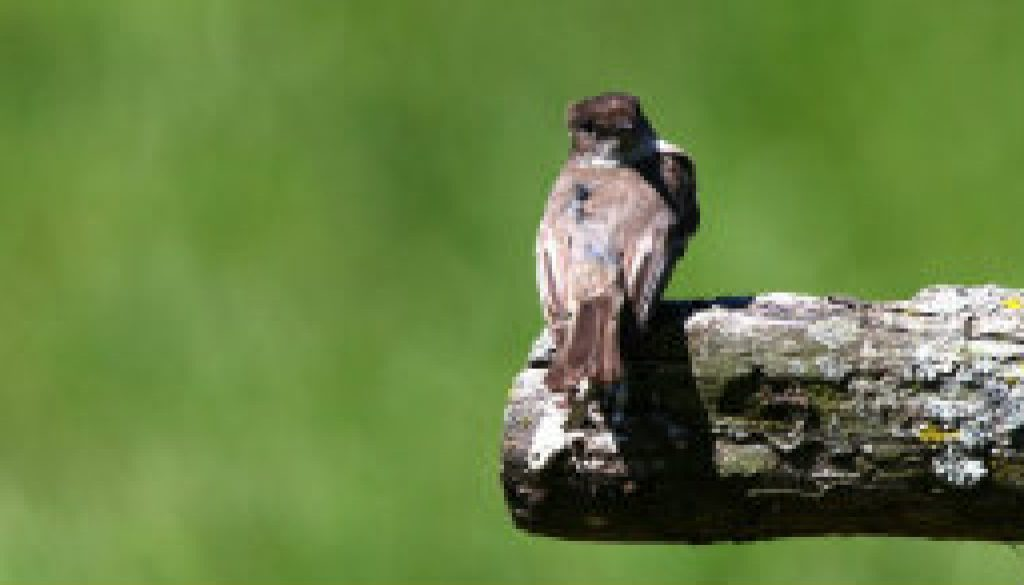 The vociferous Eastern Phoebe featured