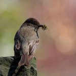 The vociferous Eastern Phoebe