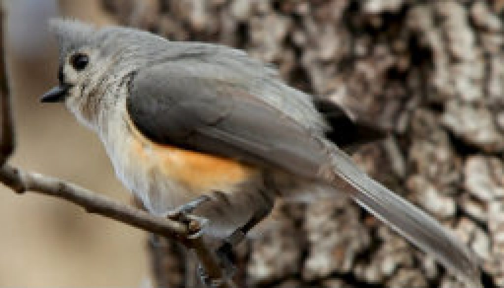Tufted Titmouse on March 4, 2009 featured