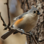 Tufted Titmouse on March 4, 2009