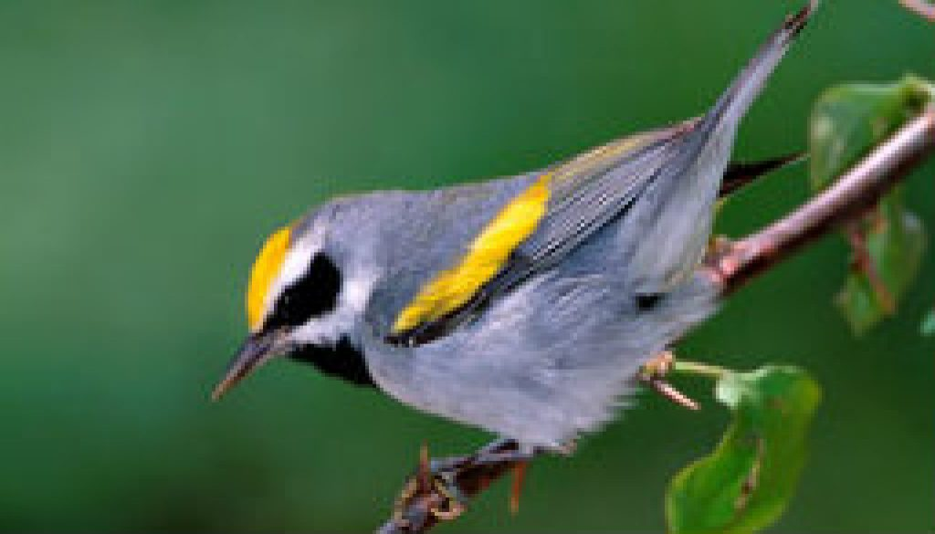 Uncommon Warblers at ROLF featured