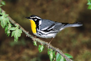 Uncommon Warblers at ROLF