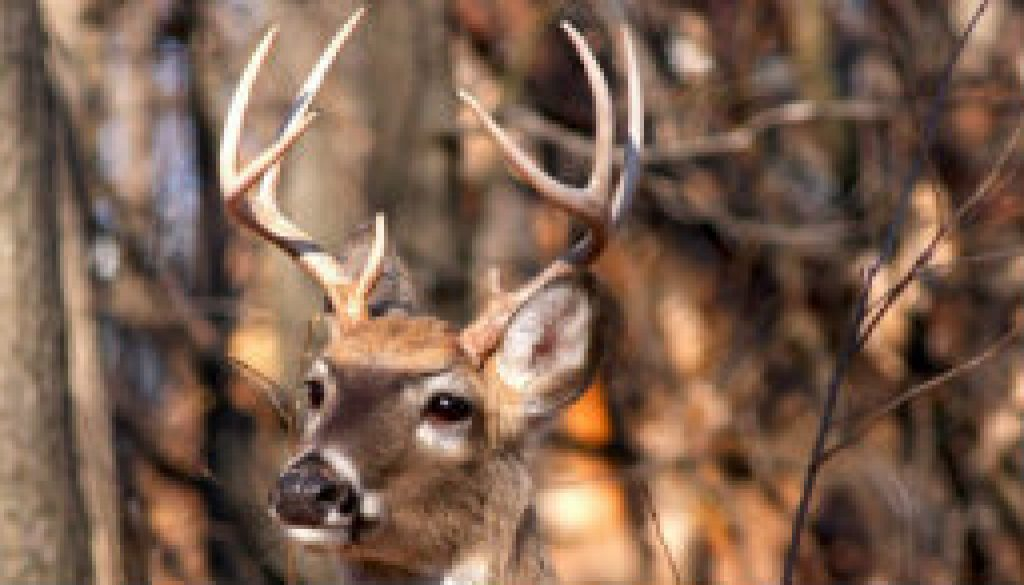 Very nice White Tail deer buck featured