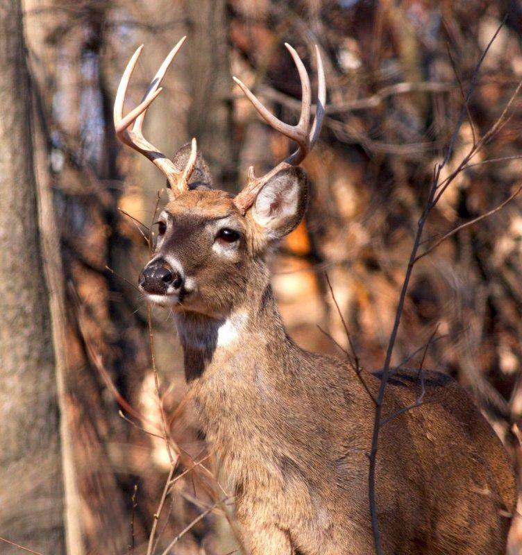 Very nice White Tail deer buck