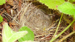 Warbler nests I found this past spring 2009 featured