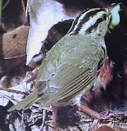 Watch for Worm Eating Warbler