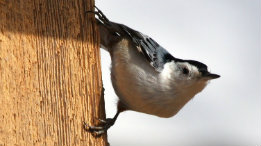 White Breasted Nuthatch featured