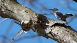 White-breated Nuthatch courtship has begun featured