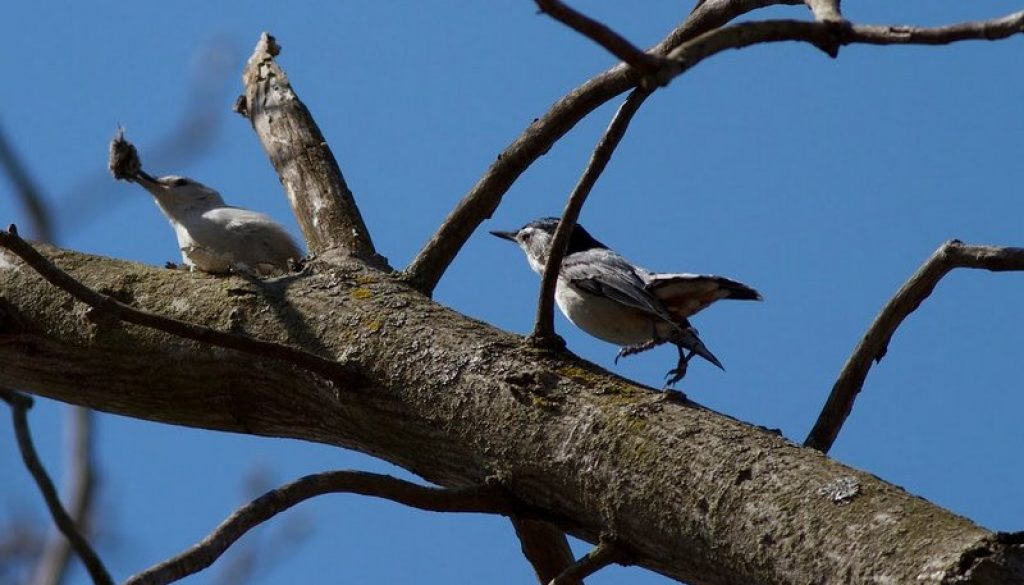 White-breated Nuthatch courtship has begun