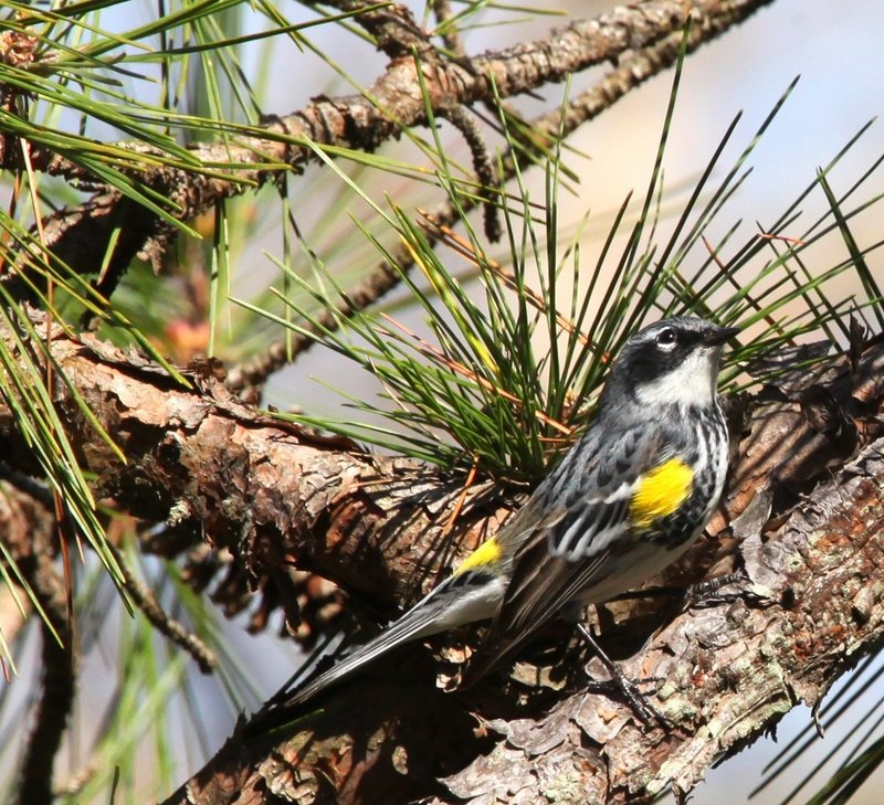 Yellow Rumped Warbler at ROLF in April 2009