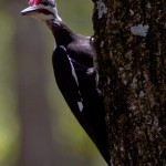another Pileated Woodpecker