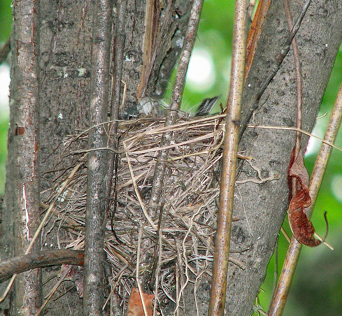 Warbler nest I found this past spring 2009