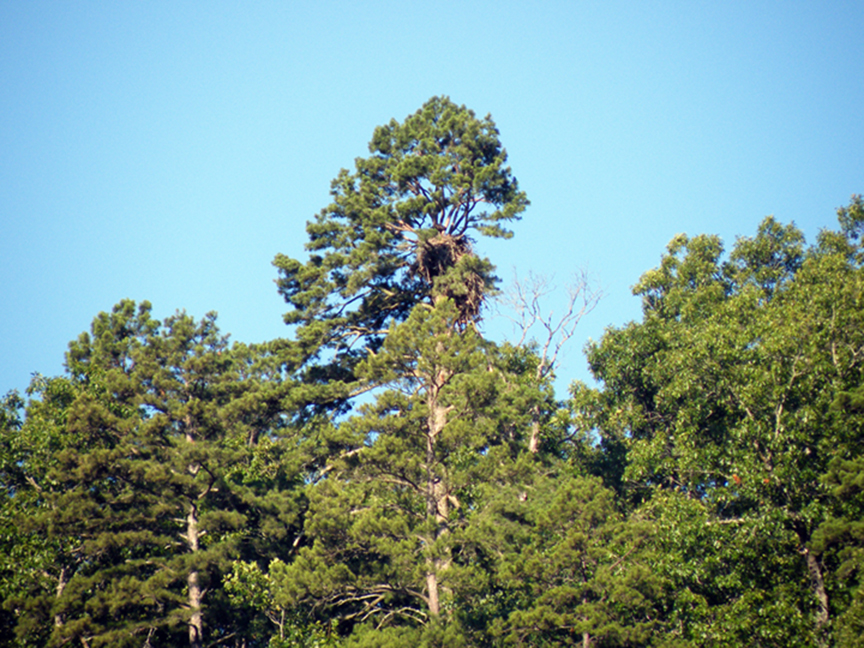 Eagles Nest Tree
