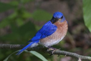 Award-Winning-Bluebird-Photo