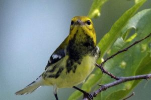 Black-Throated-Green-Warbler-4