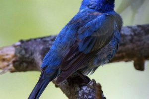 Indigo-Bunting-in-all-his-glory