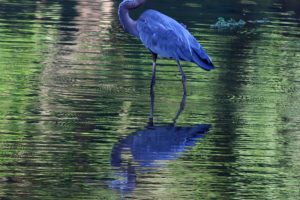Reflections-Great-Blue-Heron