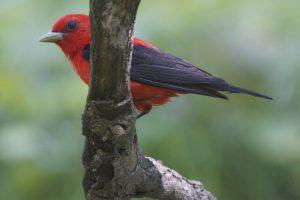 Scarlet-Tanager-2