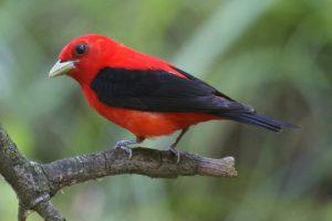 Scarlet-Tanager-4